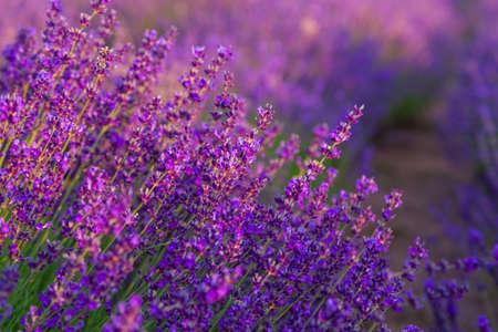 Lavender field in Tihany, Hungary photo