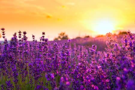 Lavendel veld in Tihany, Hongarije Stockfoto