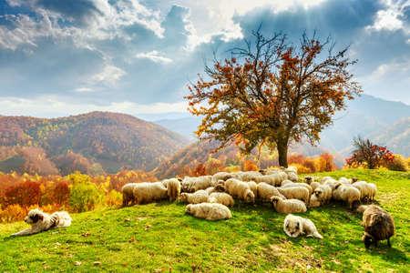Tree, sheep, shepard dog in autumn landscape in the Romanian Carpathians Standard-Bild