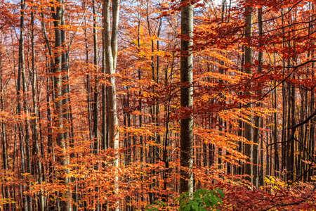 Colorful and bright autumn forest in Transylvania-Romania photo