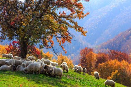 pastor de ovejas: Árbol, ovejas, perro shepard en el paisaje de otoño en los Cárpatos rumanos