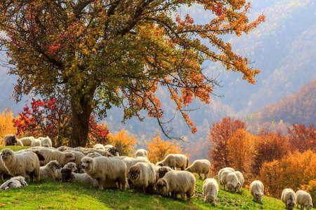 Tree, sheep, shepard dog in autumn landscape in the Romanian Carpathians Foto de archivo