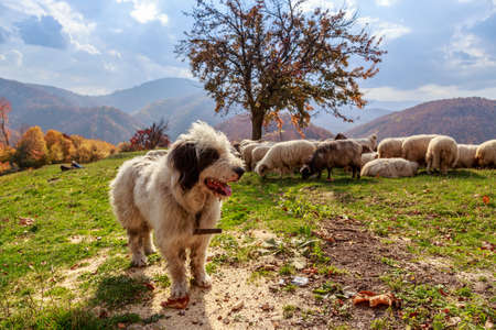 Dogs guard the sheep on the mountain pasture photo