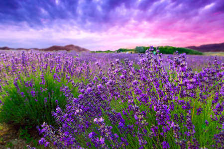 blooming. purple: Sunset over a summer lavender field in Tihany, Hungary