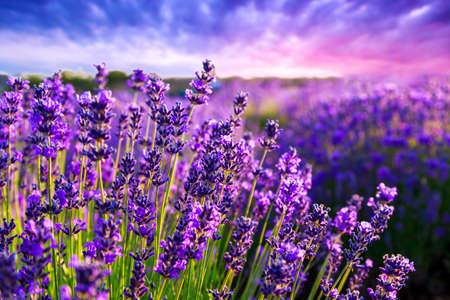 Lavender field in Summer near Tihany, Hungary