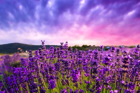 Coucher de soleil sur un champ de lavande d'été à Tihany, Hongrie Banque d'images