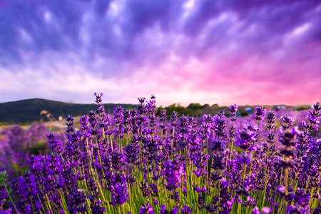 lavender flower: Sunset over a summer lavender field in Tihany, Hungary