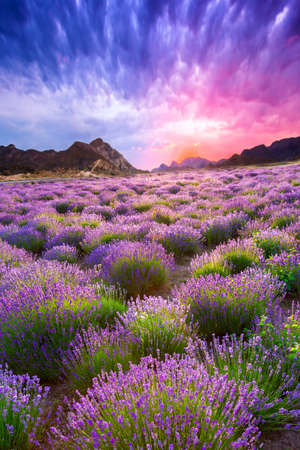Sunset over a summer lavender field in Tihany, Hungary photo