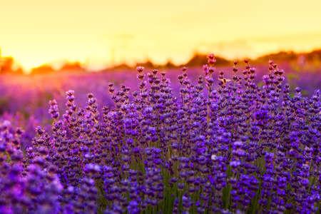 fiori di lavanda: Campo di lavanda in estate vicino Tihany, Ungheria