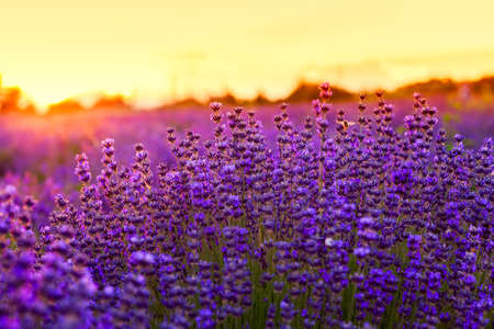 blooming. purple: Lavender field in Summer near Tihany, Hungary
