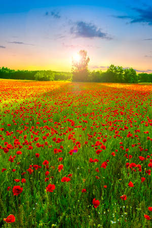 Poppies field at sunset in summer, in Hungary photo