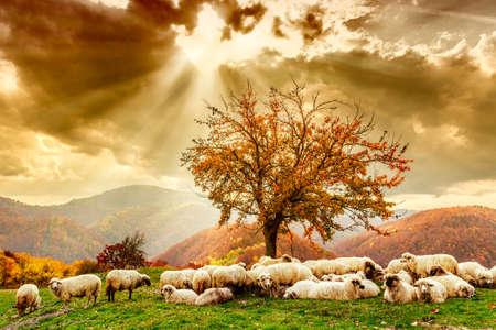 聖書のシーン。ツリーとルーマニアのカルパチア山脈における秋の景色に劇的な空の下で羊