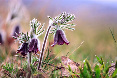 A group of Pulsatilla montana blooming on spring meadow in Hungary. Fine blurred natural background color photo