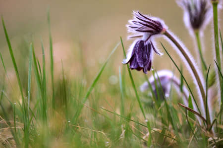 pulsatilla: A group of Pulsatilla montana blooming on spring meadow in Hungary. Fine blurred natural background color