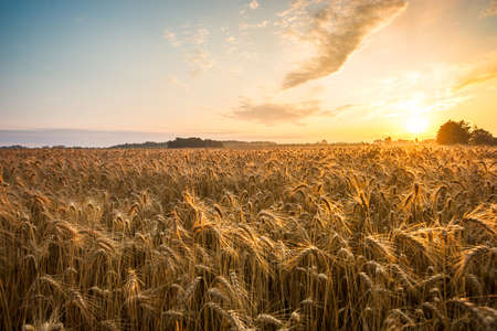ear of corn: Golden ears and field of wheat ready to be harvested. This photo made in Hungary