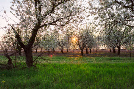sour grass: Beautiful blooming of cherry trees in spring. Hungary