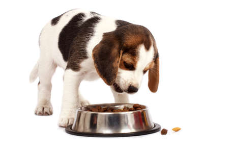 beagle puppy: Beagle puppy dog that eating on a white background