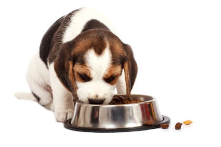 Beagle puppy dog that eating on a white background