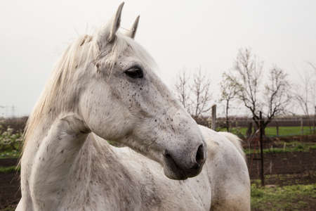 shire horse: Portrait of beautiful gray shire horse