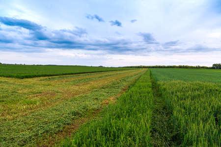 wheatfield: Wheat field and countryside scenery