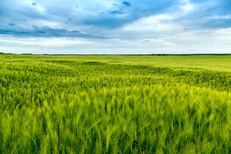 wheatfield: Green fields of wheat in Tuscany, Italy