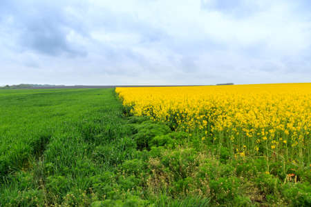 flowering field: Flowering field of canola outdoors in spring in Hungary Stock Photo