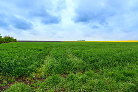 Green wheat field in springtime in Hungary photo