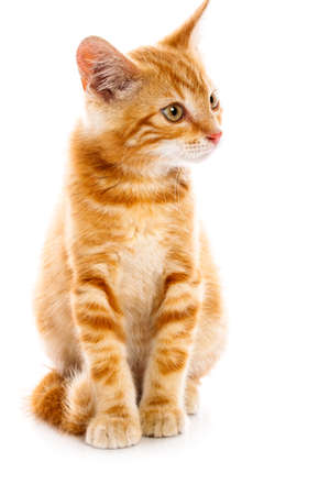 Pequeño gato rojo en el fondo aislado Foto de archivo