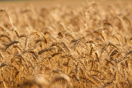 Wheat field ready for harvest growing in a farm field photo