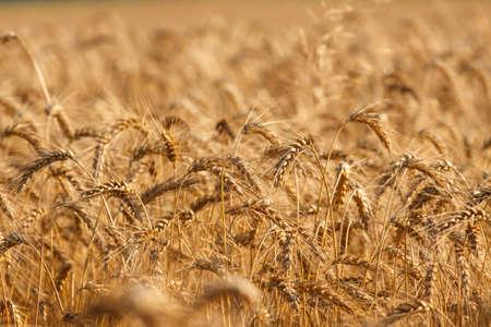 Wheat field ready for harvest growing in a farm field photo