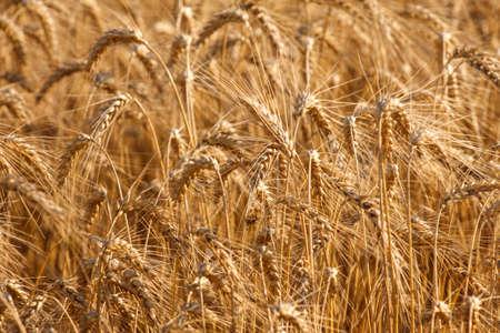 farm field: Wheat field ready for harvest growing in a farm field