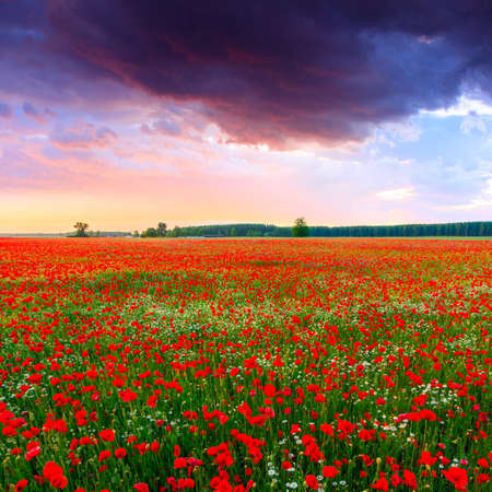 Poppies field at sunset in summer in Hungary photo
