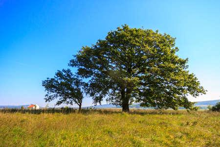roble arbol: Árbol de roble solitario en el prado en Hungría