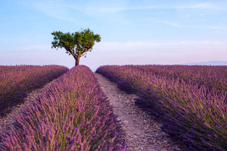 france perfume: Lavender field summer sunset landscape with single tree near Valensole.Provence,France