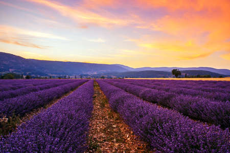 provence: Lavender field summer sunset landscape with single tree near Sault..Provence,France