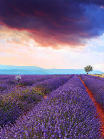 lavendin: Lavender field summer sunset landscape with single tree near Sault..Provence,France
