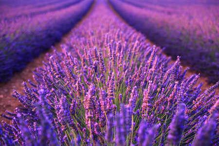 flores moradas: Campo de lavanda en el verano en Valensole.Provence, Francia. (Enfoque suave) Foto de archivo