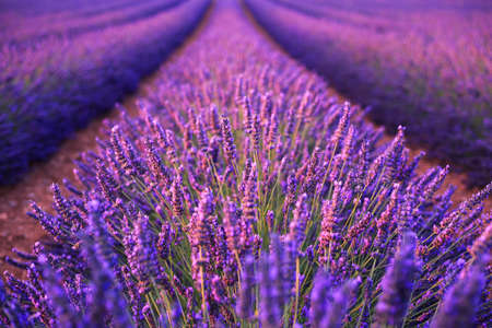 purple plants: Lavender field in the summer in Valensole.Provence,France.( soft focus)