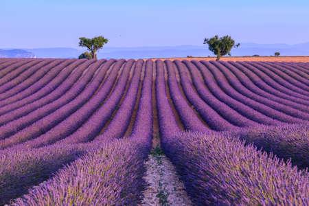 fiori di lavanda: Campo estivo di lavanda tramonto paesaggio con due albero vicino Valensole.Provence, Francia
