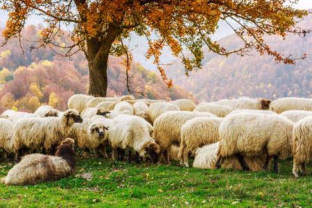 ルーマニアのカルパチア山脈の秋の風景の中のツリーの下で羊
