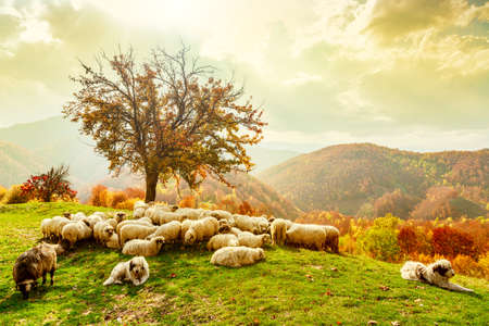 mountain scene: Bible scene. Sheep under the tree and dramatic sky in autumn landscape in the Romanian Carpathians
