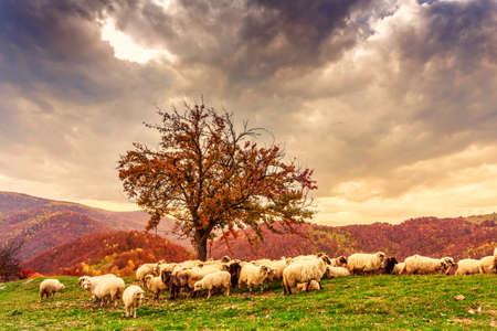 bible shepherd: Sheep under the tree  in autumn landscape in the Romanian Carpathians Stock Photo