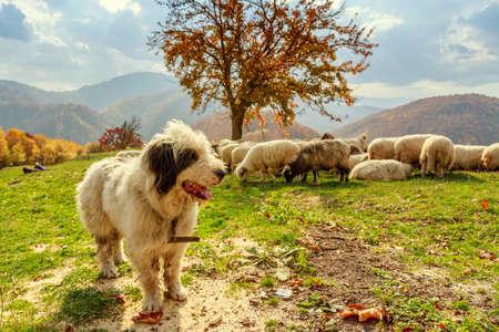 犬が山の牧草地-トランシルヴァニア、ルーマニアにいる羊たちをガードします。