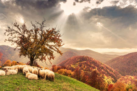 Sheep under the tree  in autumn landscape in the Romanian Carpathians Imagens