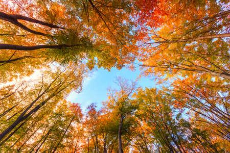 Autumn beech fall forest in Bukk-Hungary