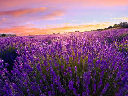 Lavender field in summer near Tihany, Hungary Foto de archivo