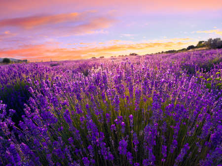 Lavender field in summer near Tihany, Hungary Stock Photo