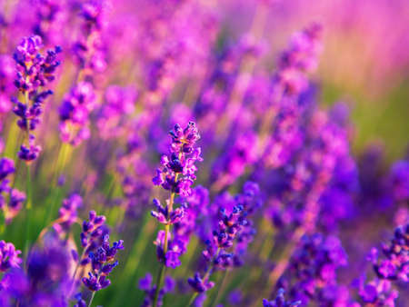 lavendin: Lavender field in summer near Tihany, Hungary Stock Photo