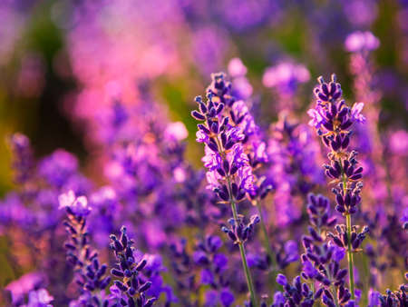 Lavender field in summer near Tihany, Hungary Standard-Bild
