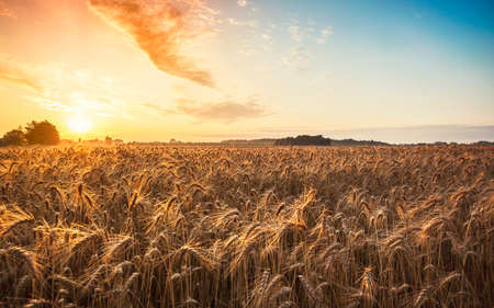 cosecha de trigo: La magia del amanecer con el campo de trigo en verano Hungría (ración 16:10) Foto de archivo